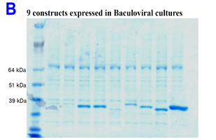 Picture_B_baculoviral_cultures